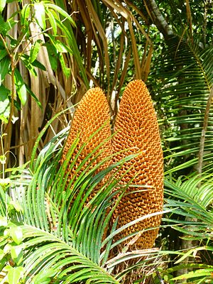 Cycas media - Twin cones of Cycas media near Cooktown, Queensland