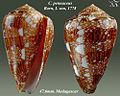Conus pennaceus 10.jpg