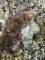 Conus pennaeus attacks pair of Cymatium sp.jpg