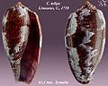 Conus tulipa 3.jpg