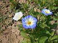 Convolvulus tricolor 2015-07-15 4415.jpg
