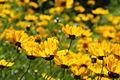 Coreopsis lanceolata - flower view 02.jpg