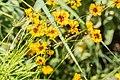 Coreopsis tinctoria 'Golden Roulette' in Jardin des 5 sens (1).jpg