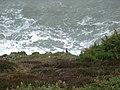 Cormorant below Newton Cliff - geograph.org.uk - 285328.jpg
