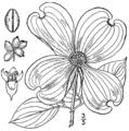 Cornus florida BrittonBrown.png
