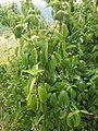 Cornus mas, familija Cornaceae 04.jpg