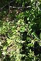 Cornus mas, familija Cornaceae 06.jpg