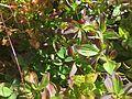 Cornus suecica skrubbebär Blefjell IMG 1444.jpg