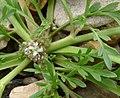 Coronopus squamatus inflorescens (14).jpg