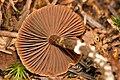 Cortinarius.paleaceus2.-.lindsey.jpg