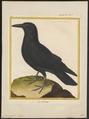 Corvus corax - 1700-1880 - Print - Iconographia Zoologica - Special Collections University of Amsterdam - UBA01 IZ15700199.tif