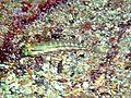 Coryphopterus punctipectophorus.jpg