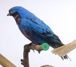 Cotinga amabilis Museum de Genève