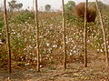 Cotton field in CAR.jpg