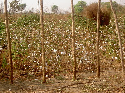 Cotton field in CAR.jpg