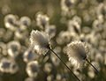 Cottongrass - 3 (2553800366).jpg