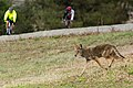 Coyote Hunting Rodents in Santa Teresa County Park (30630395246).jpg