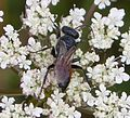 Crabronidae ( rounded occelli). Astata female - Flickr - gailhampshire.jpg