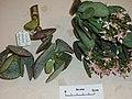 Crassula arborescens undulatifoliata (Mill.) Willd. (AM AK291180-3).jpg