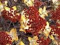 Crassula rupestris-PICT3077.jpg