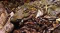 Crocodylus mindorensis juvenile Köln Zoo 31122014 4.jpg