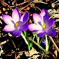 Crocus - Flickr - Stiller Beobachter.jpg