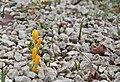 Crocus ancyrensis Palmengarten Frankfurt (Main).jpg