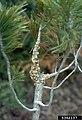 Cronartium ribicola Pinus (02).jpg
