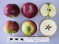 Cross section of Beach Seedling (Heseltine), National Fruit Collection (acc. 1984-104).jpg