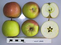 Cross section of Bouet de Bonnetable, National Fruit Collection (acc. 1948-263).jpg
