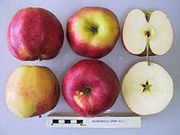 Cross section of Crowngold, National Fruit Collection (acc. 2000-012).jpg