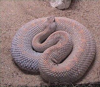 <i>Crotalus unicolor</i> species of reptile