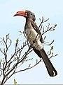 Crowned hornbill, Tockus alboterminatus, at Ndumo Nature Reserve, KwaZulu-Natal, South Africa (35862104355).jpg