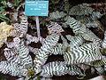 Cryptanthus zonatus var. zebrinus.JPG