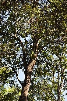 Bosque Esclerofilo Wikipedia La Enciclopedia Libre