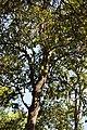 Cryptocarya alba (peumo) Parque Nacional La Campana.JPG