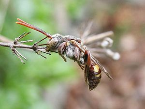 Kleptoparasitism - Cuckoo bee from the genus Nomada