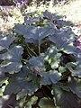 """Cucurbita pepo """"zapallito largo"""" tipo zucchini INTA 2011 planta.jpg"""