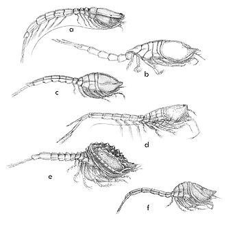 Cumacea - Diversity of forms as shown here in six of the extant families. (a) Bodotriidae, (b) Diastylidae, (c) Leuconidae, (d) Lampropidae, (e) Nannastacidae, (f) Pseudocumatidae