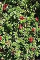 Cuphea llavea Rhumba 6zz.jpg