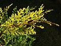 Cupressocyparis leylandii 'Castlewellan Gold' gold leafs.jpg