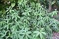 Curcuma zedoaria 1zz.jpg