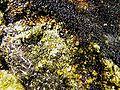 Curite-Soddyite-radmun-15a.jpg