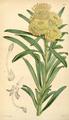 Curtis's Botanical Magazine, Plate 4332 (Volume 73, 1847).png