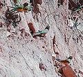 Cyanoliseus patagonus -Melado Valley, Chile-8.jpg