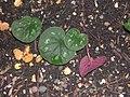 Cyclamen coum (feuilles).jpg