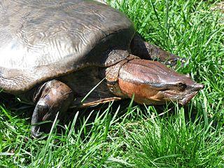 <i>Cycloderma</i> Genus of turtles
