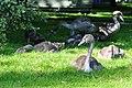 Cygnus olor - Arboretum 2010-09-03 16-57-22.JPG
