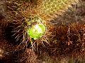 Cylindropuntia bigelovii (Teddy-bear cholla) 2.jpg