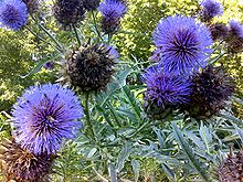 Cardoon in flower